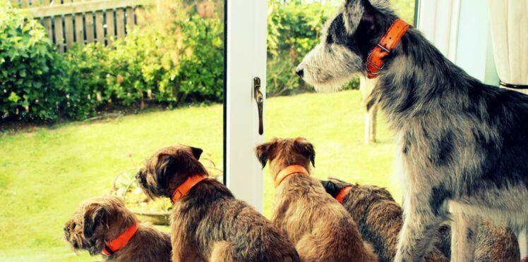 Le border terrier, un chien né pour chasser