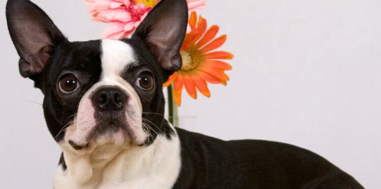 Le boston terrier, un chien très gentleman