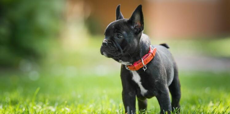 Le bouledogue français, un chien plein d'amour