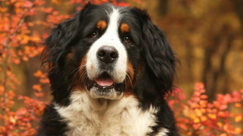 Le bouvier bernois, un chien aux multiples talents