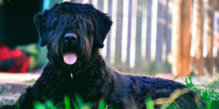 Le bouvier des flandres, un chien très loyal