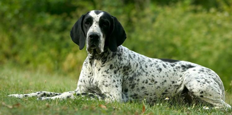 Le braque français, un chien de chasse avant tout