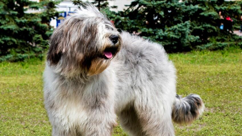 Le briard, un chien au cœur tendre