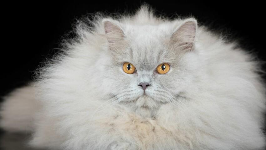 Le british longhair, un chat nounours
