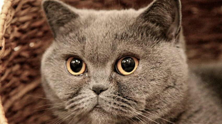 Le british shorthair, un chat indépendant