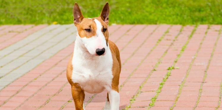 Le bull terrier, un chien super dynamique