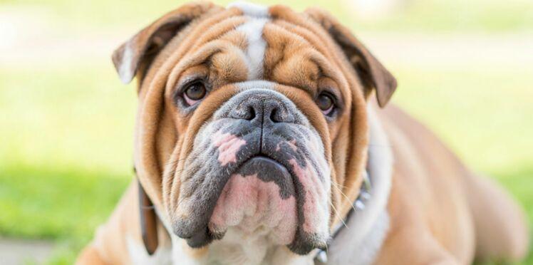 Le bulldog anglais, un chien qui cache son jeu