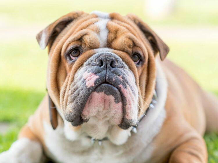 Coloriage Bouledogue Anglais.Le Bulldog Anglais Un Chien Qui Cache Son Jeu Femme