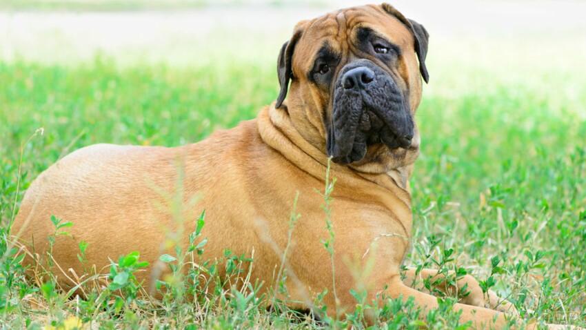 Le bullmastiff, un chien qui aime impressionner