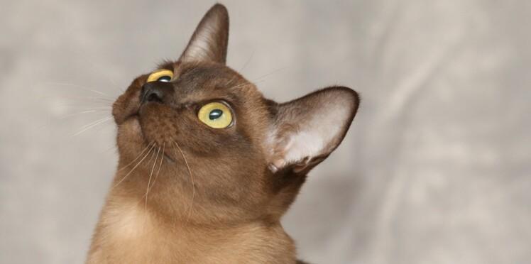 Le burmese, un chat fait pour les familles