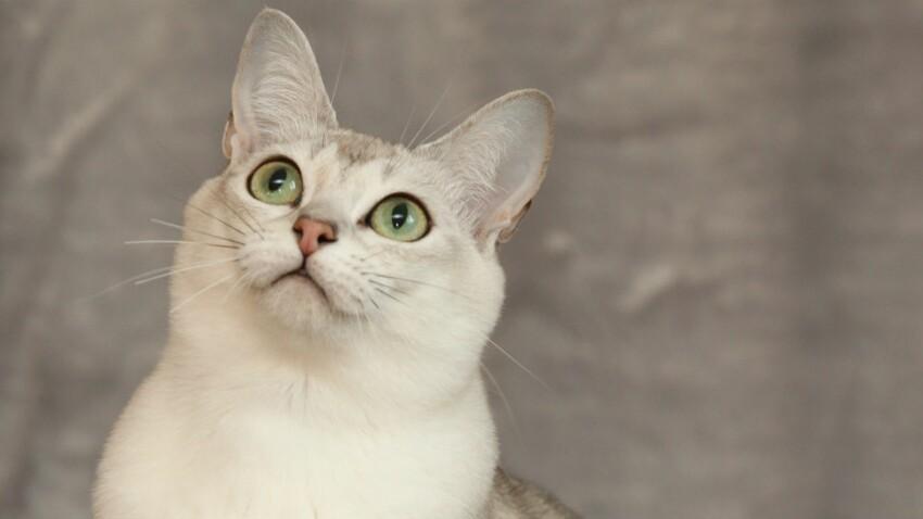 « Le burmilla, un chat très affectueux »