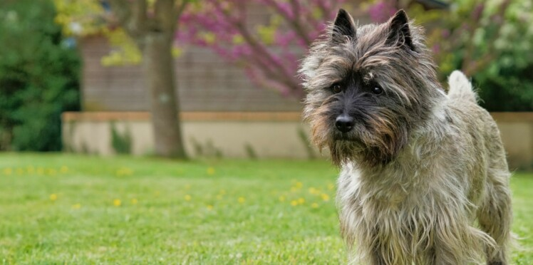 Le cairn terrier, un chien tout ébouriffé