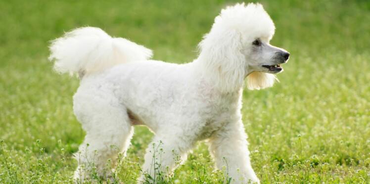 Le caniche : un chien bien de chez nous
