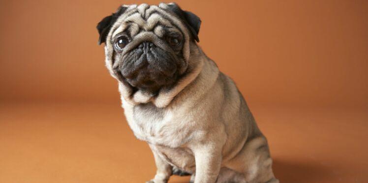 Le carlin, un chien fiable et solide