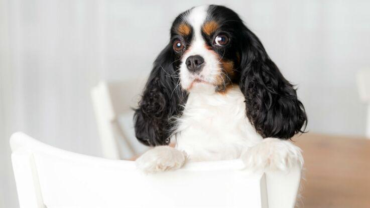 Le cavalier king charles, un chien tout doux