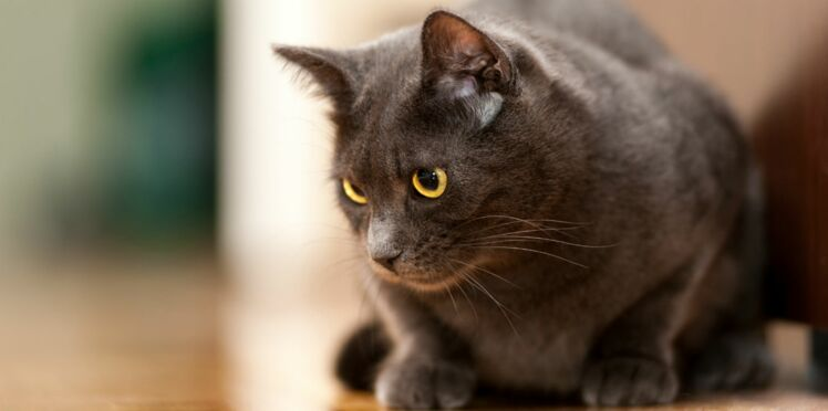 Le chartreux, un chat discret