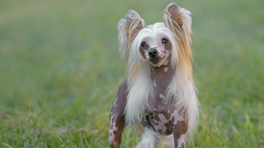 Le chien chinois à crête, un super compagnon