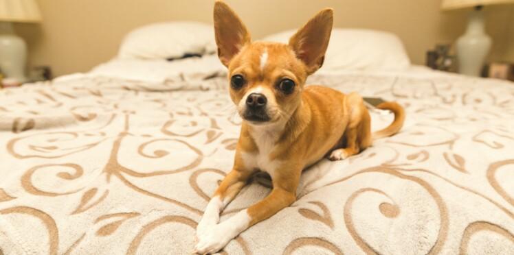 Le chihuahua, un super mini chien