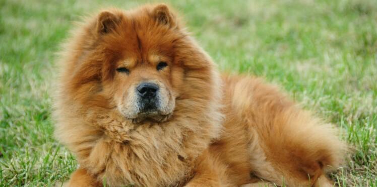 Le chow chow, un chien indépendant