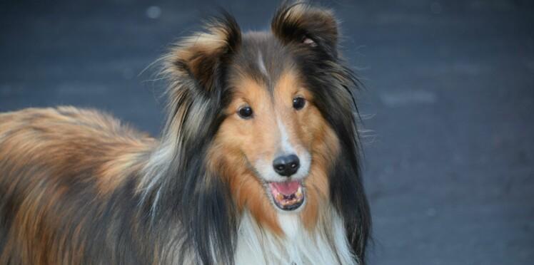 Le colley, un chien au bon esprit