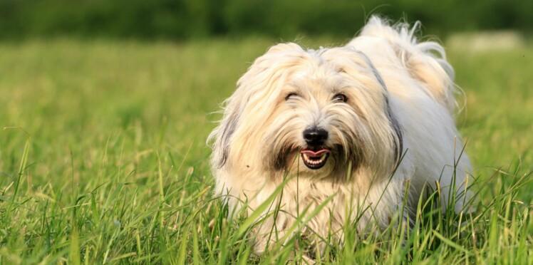 Le coton de tulear, un chien de bonne compagnie