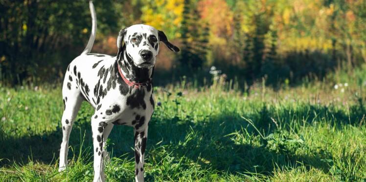 Le dalmatien, un chien star de cinéma