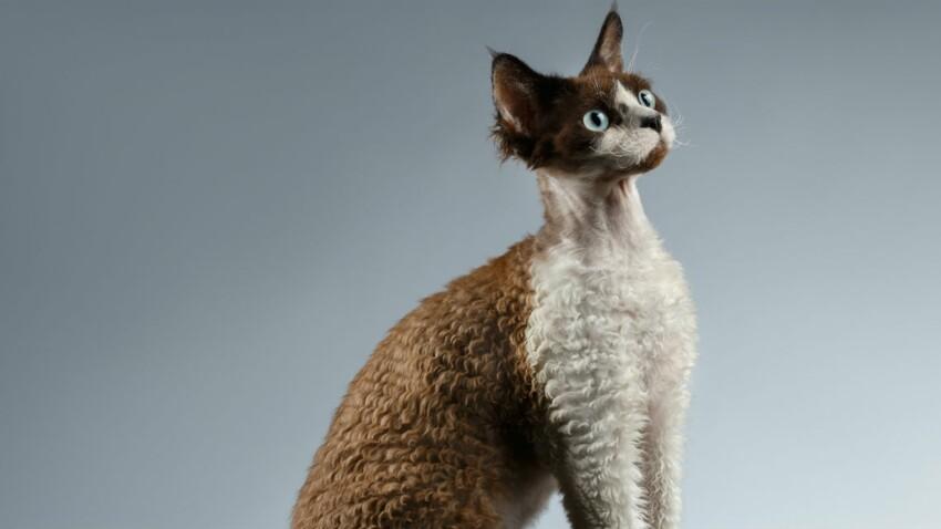 Le devon rex, un chat bouclé de la tête aux pattes