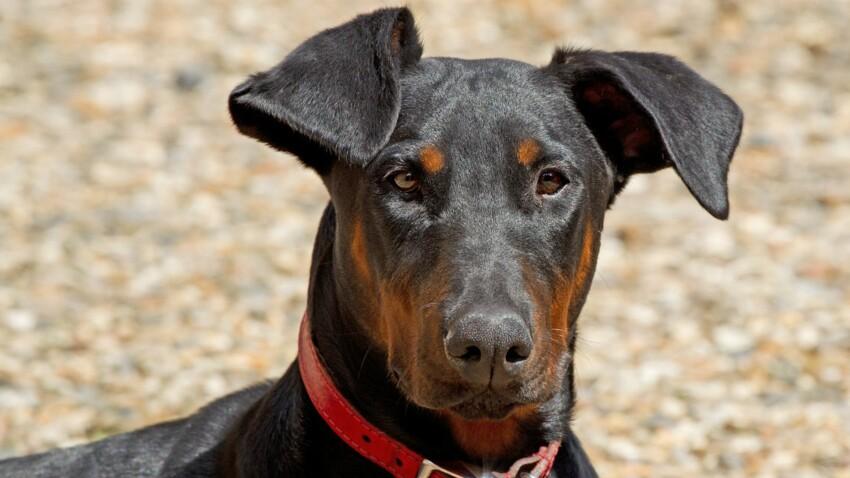 Le dobermann, un chien qui a de la classe