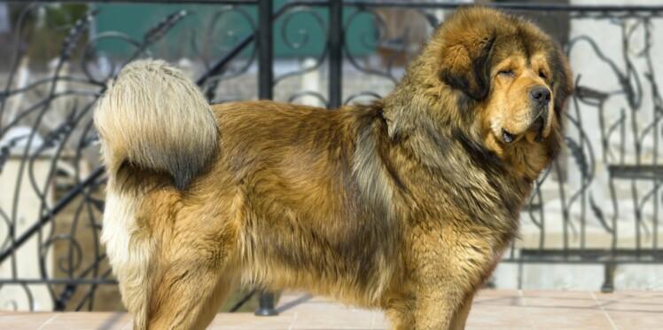 Le dogue du Tibet, un chien singulier