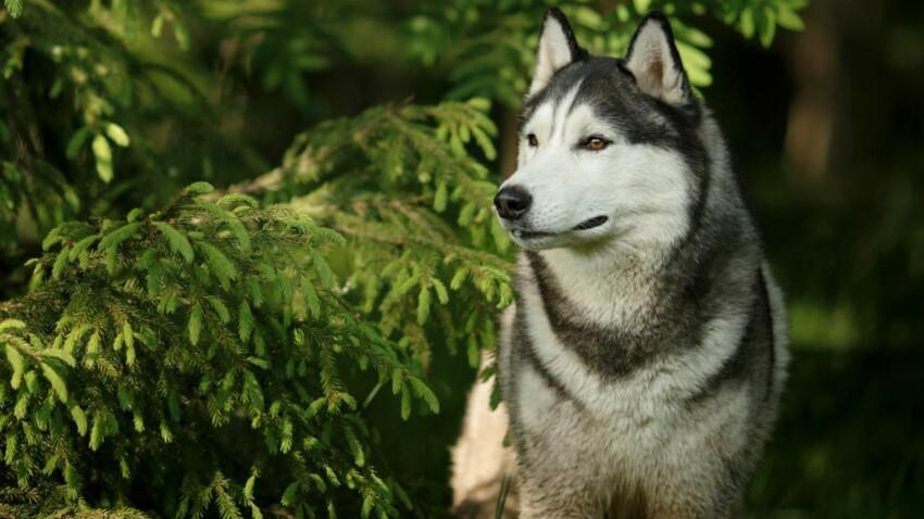 Le husky, un chien très élégant