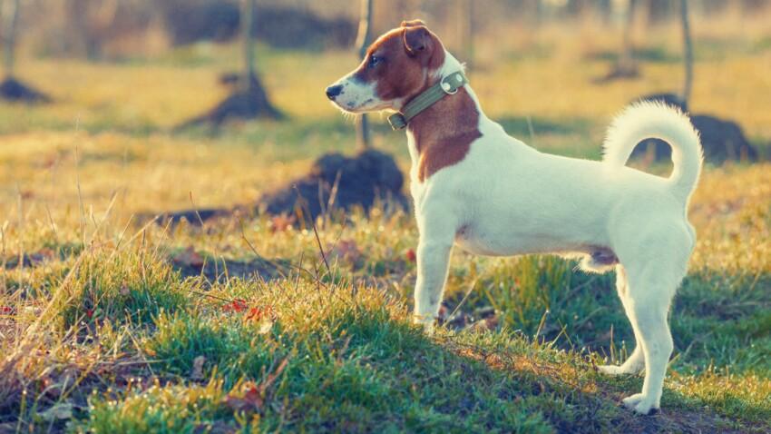 Le jack russell, un chien plein d'allant