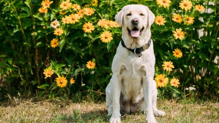 Le labrador, un chien plein d'entrain