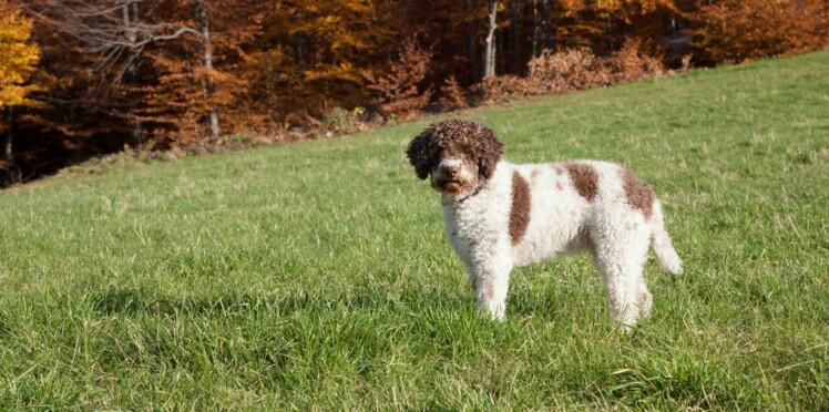 Le lagotto romagnolo, un chien tout frisé