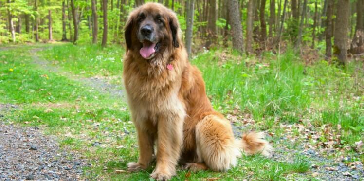 Le leonberg, un chien « maousse costaud »