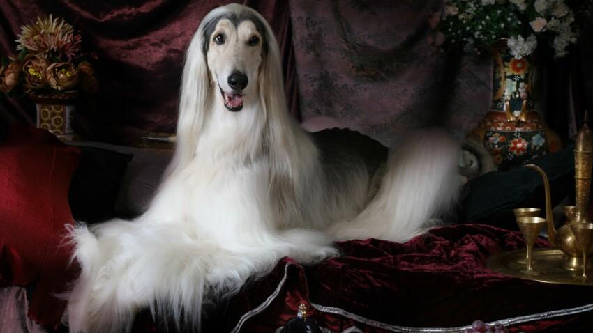 Le lévrier afghan, un chien somptueux