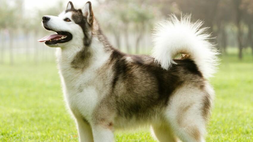 Le malamute d'Alaska, un chien taillé pour la montagne