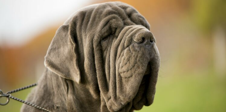 Le mâtin de Naples, un beau chien italien