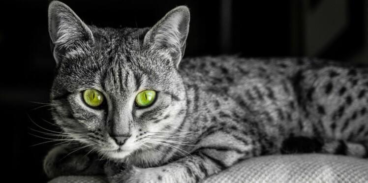Le mau égyptien, un chat d'un autre temps