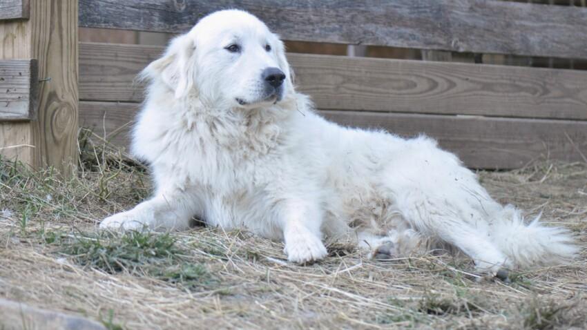 Le montagne des pyrénées, un chien fait pour la nature