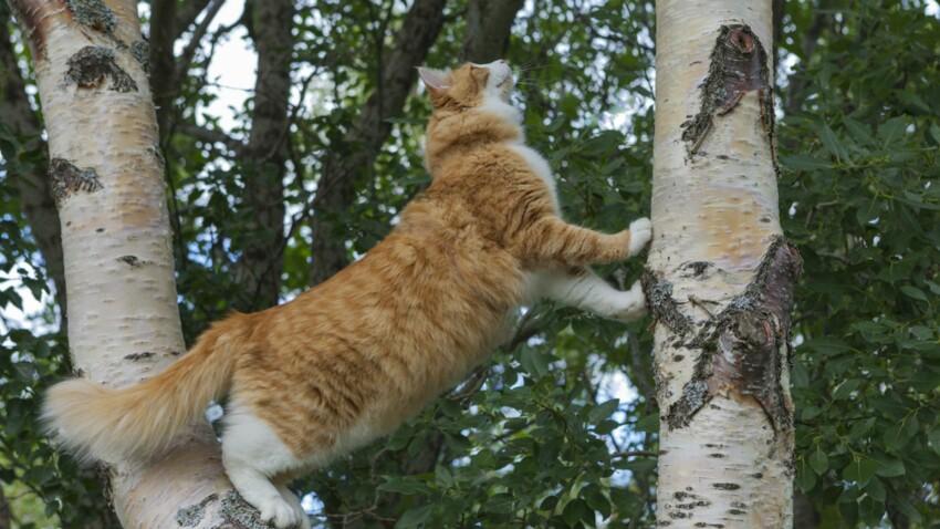 Le norvégien, un chat robuste