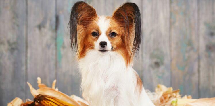 Le papillon, un chien aux drôles d'oreilles