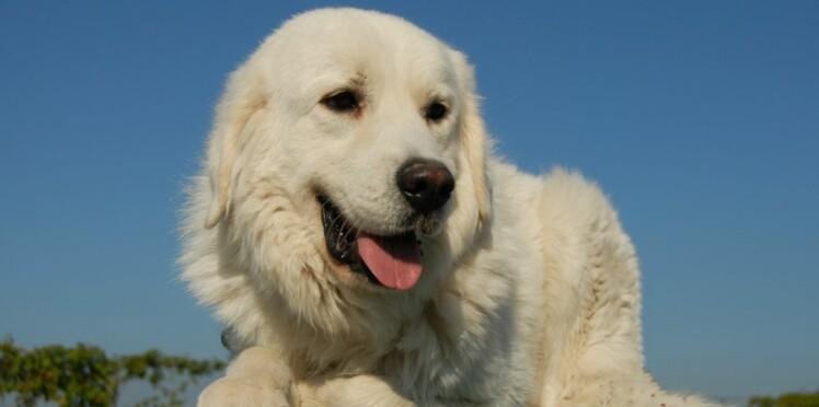 Le patou, un chien qui vient des Pyrénées