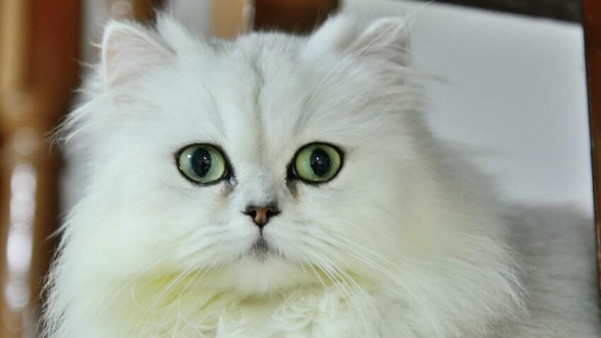 Le persan chinchilla, un chat raffiné
