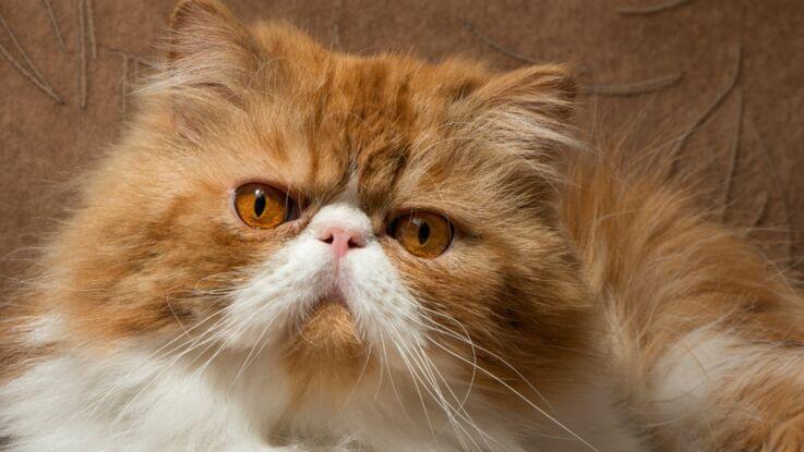 Le persan, un chat So British