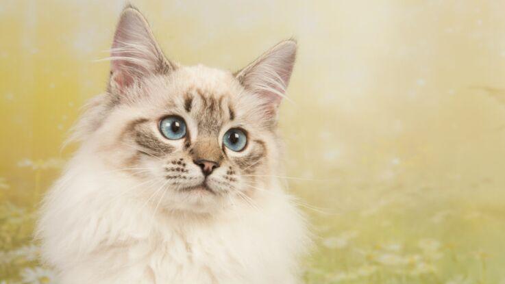 Le ragdoll, un chat très docile