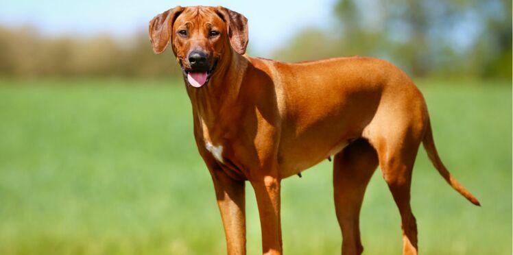 Le rhodesian ridgeback, un chien des contrées lointaines
