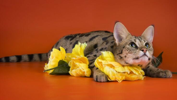 Le savannah, un chat hors normes