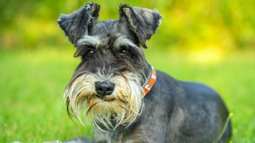 Le schnauzer, un chien vif comme l'éclair