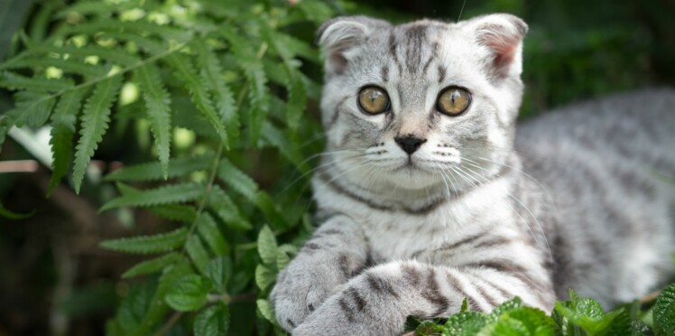 Le scottish fold, un chat très affectueux