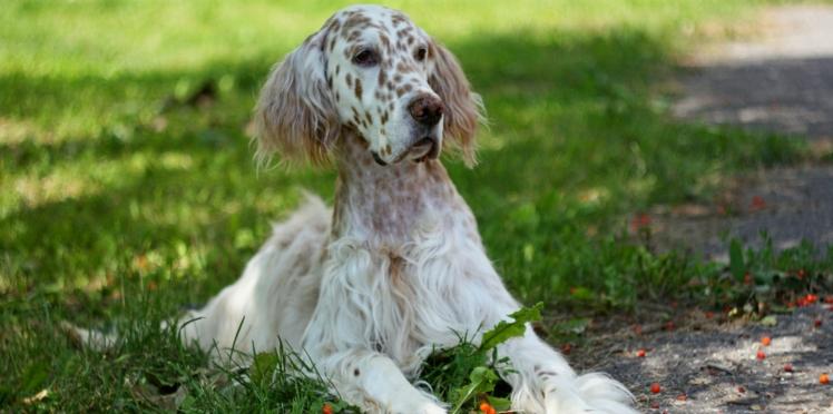 Le setter anglais, un chien fait pour la campagne
